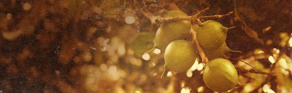 Mac Nuts on tree